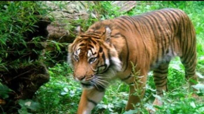 Inyiak harimau di TNKS
