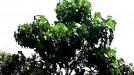 Lestarikan Lingkungan, Kamek Kembangkan Komoditas Kemiri